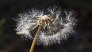 photo of dandelion that has gone to seed with seeds falling off the stem