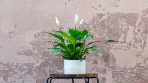 photo of peace lily plant with white blooms in a pot on a table