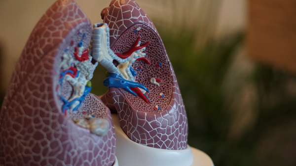set of model lungs